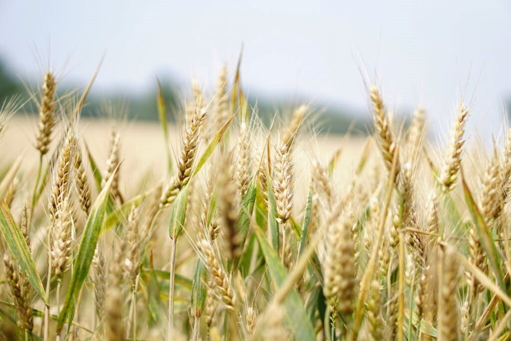 A field of grain ready for harvest and marketing.