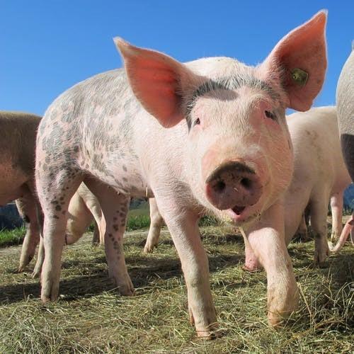 Investors focus on hog yields to determine future supply.